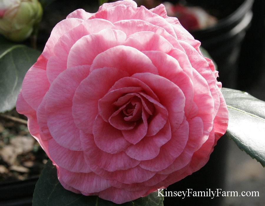 Kinsey Family Farm In The Pink Camellia japonica