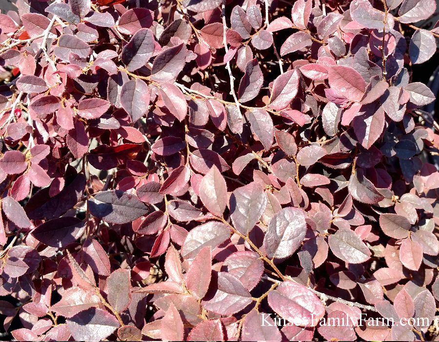 Kinsey Family Farm Dwarf Loropetalum