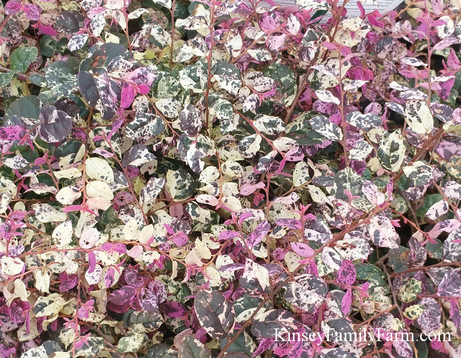 Kinsey Family Farm Variegated Loropetalum