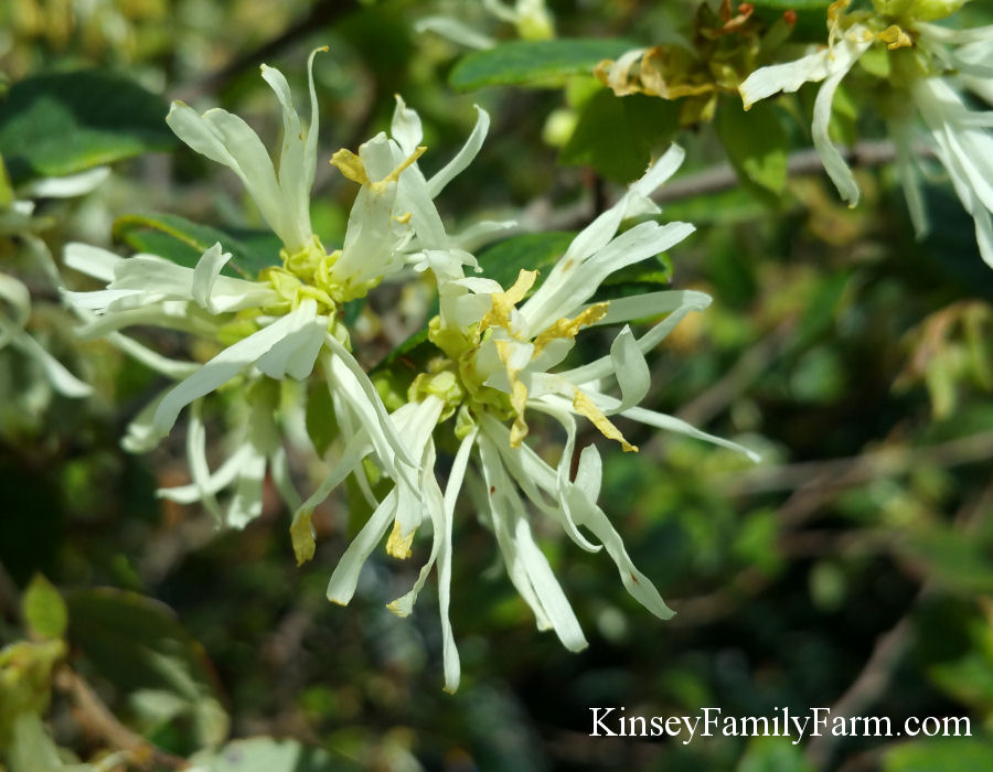 Kinsey Family Farm White Loropetalum