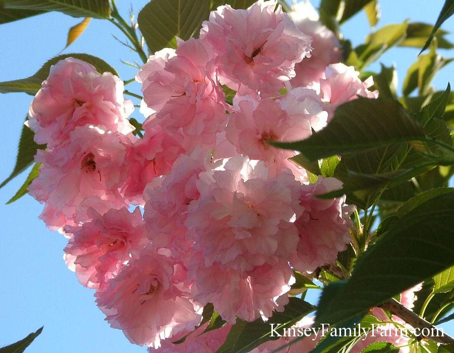 Flowering Cherry Trees For Sale Georgia Kinsey Family Farm