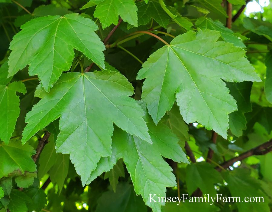 Kinsey Family Farm Red Maple Brandywine