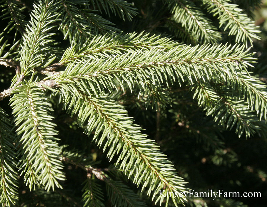Kinsey Family Farm Picea abies Norway Spruce Tree