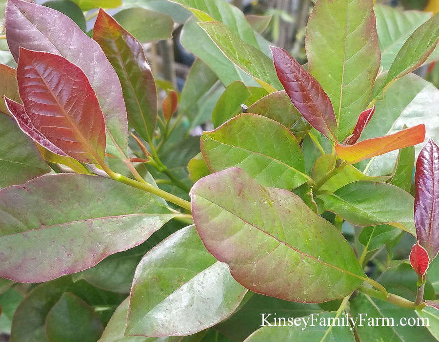 Kinsey Family Farm Nyssa sylvatica Black Gum