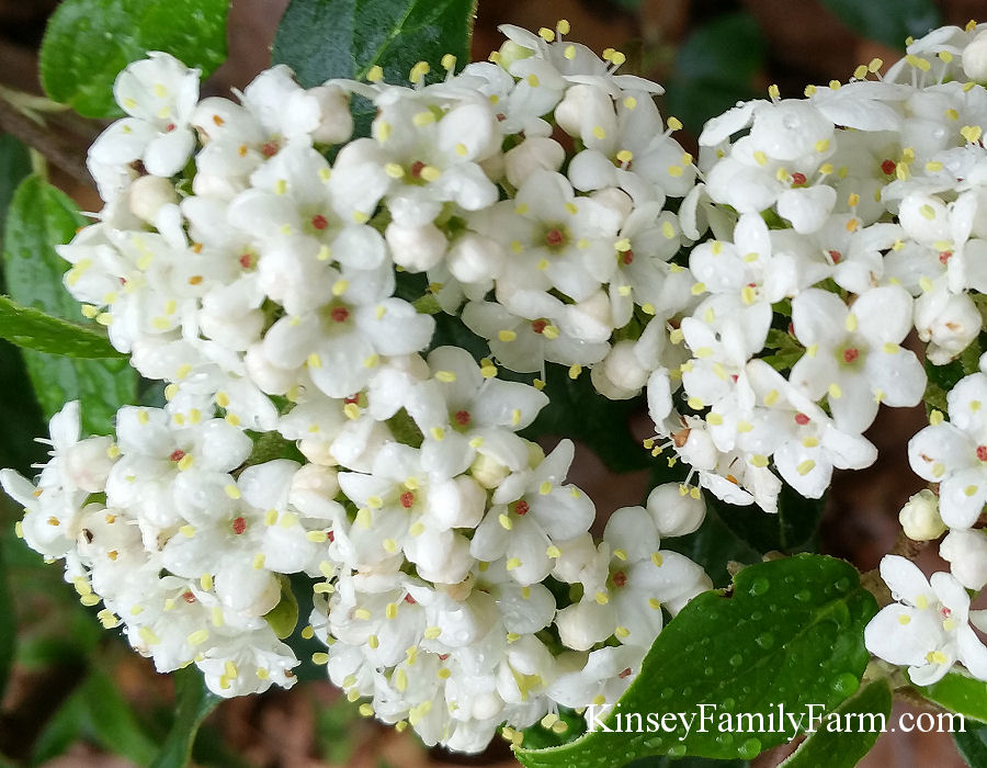 Evergreen shrubs georgia southern gardens kinsey family farm kinsey viburnum mightylinksfo