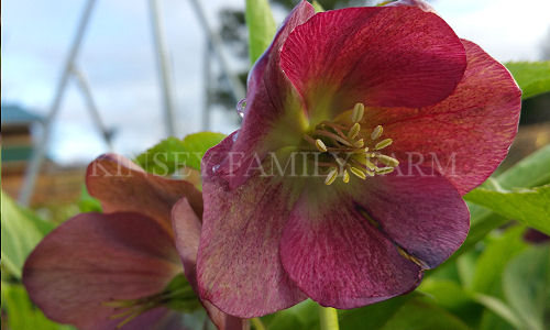Kinsey Family Farm Red Lady Helleborus Hellebore