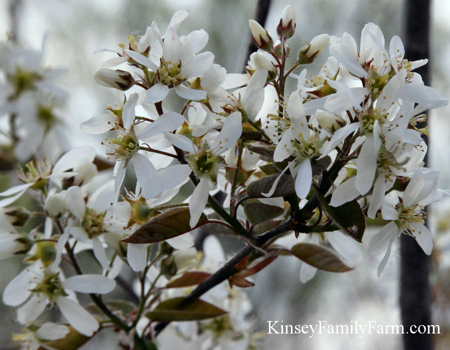 Kinsey Family Farm Amelanchier arborea Serviceberry Autumn Brilliance