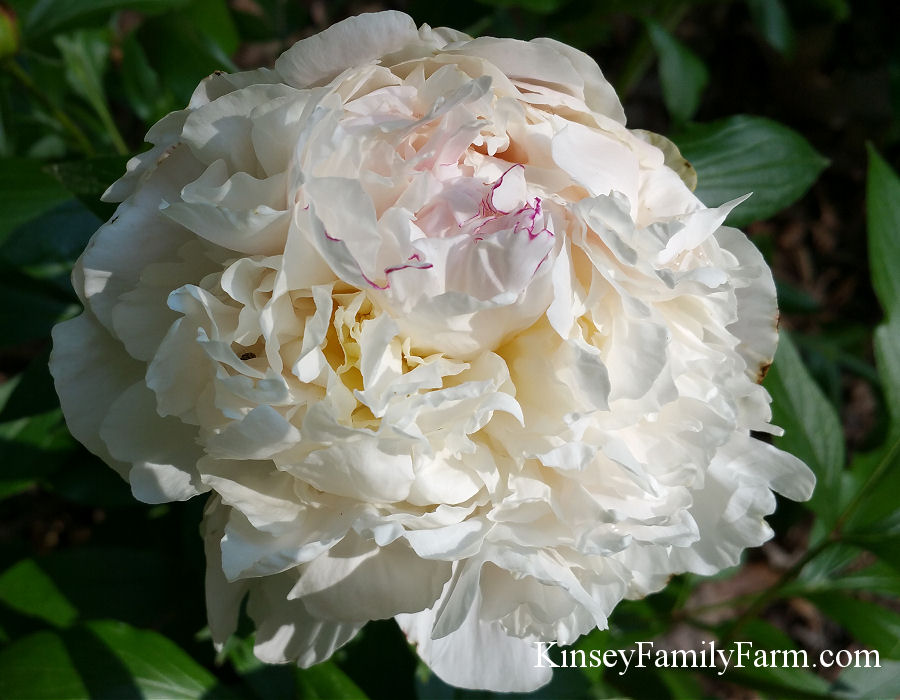 Kinsey Family Farm Shirley Temple Peony