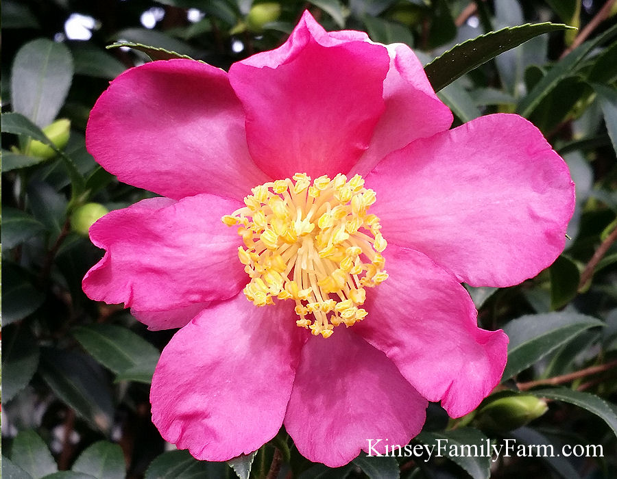 Kinsey Family Farm Slim and Trim Camellia Sasanqua