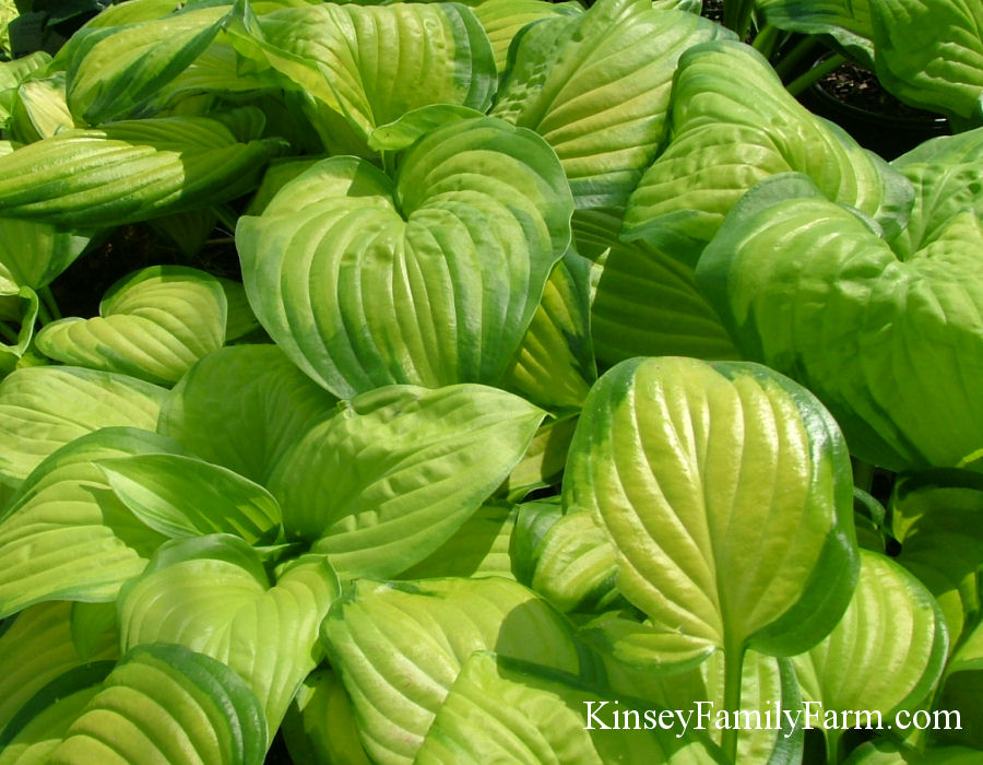 Kinsey Family Farm Stained Glass Hosta