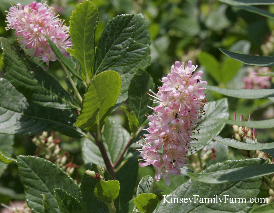 Kinsey Family Farm Summersweet Clethra