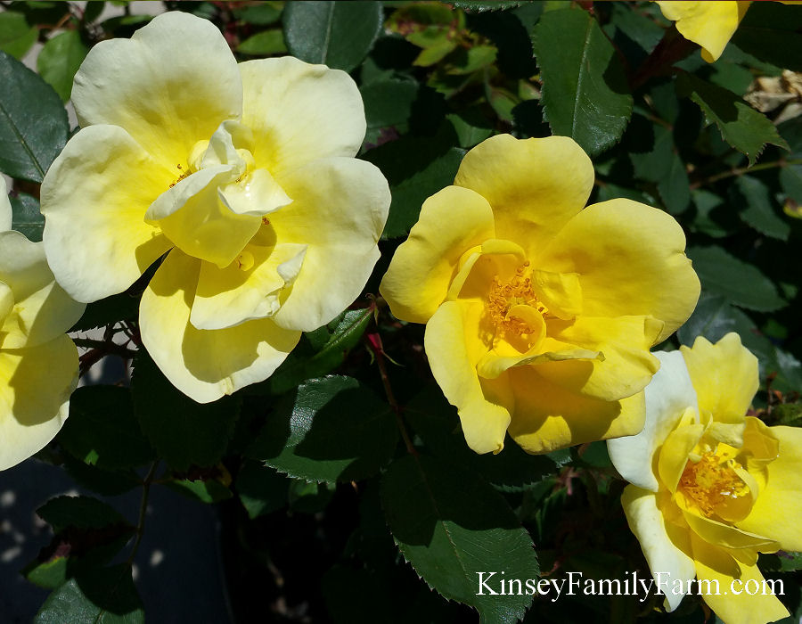 Knockout Roses Drift Rose Bush For Sale Ga Kinsey Family