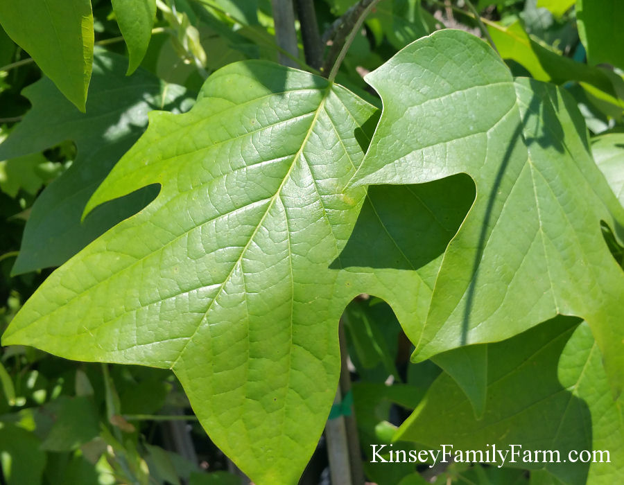 Kinsey Family Farm Poplar Tulip Tree