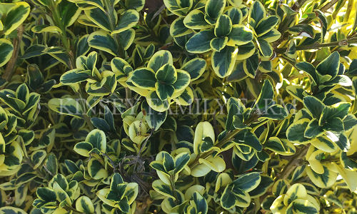 Boxwood Shrubs For Sale Ga Garden Center Kinsey Family Farm