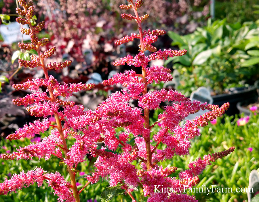Kinsey Family Farm Visions in Red Astilbe