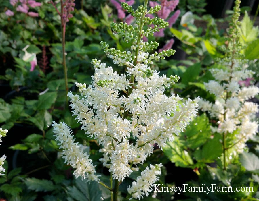 Kinsey Family Farm Visions in White Astilbe Plant