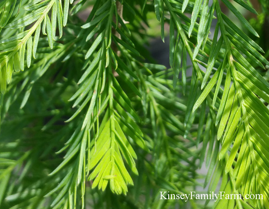 Kinsey Family Farm Falling Waters Weeping Baldcypress