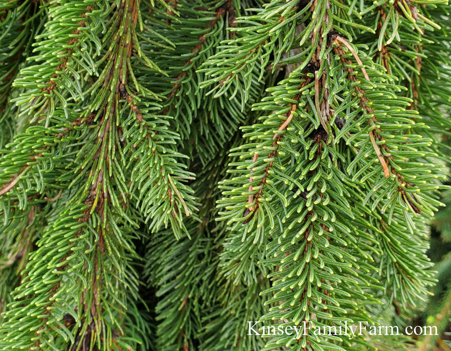 Conifers, Evergreen Screening Privacy Hedge Kinsey Family Farm