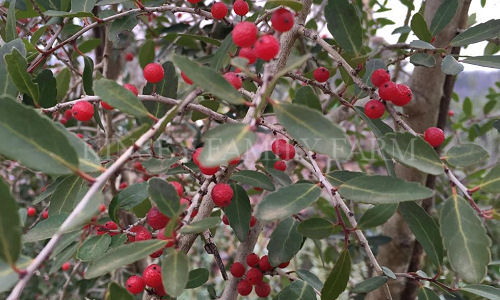 Kinsey Family Farm Ilex vomitoria Weeping Yaupon Holly