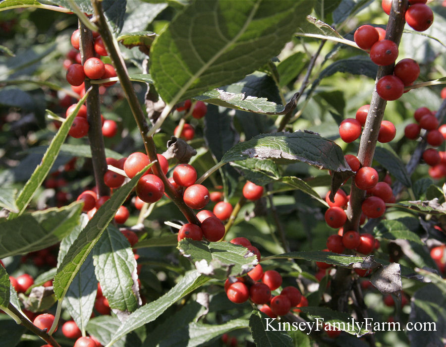 Kinsey Family Farm Native Ilex verticillata Winterberry Holly