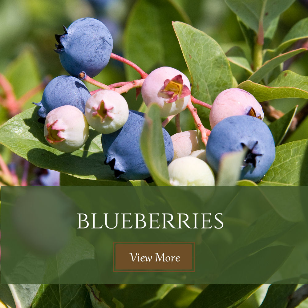Kinsey Family Farm blueberries