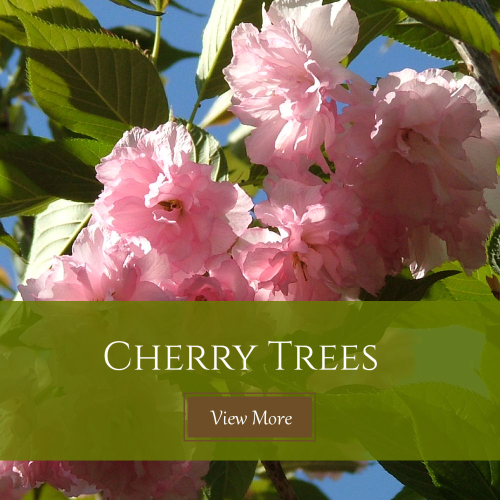 Kinsey Family Farm cherry trees